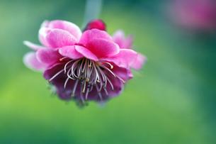 梅の花の写真素材 [FYI00362370]