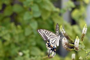 アゲハ蝶の写真素材 [FYI00362382]