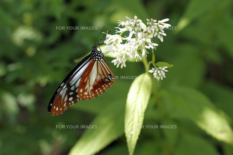 山岳地の蝶の素材 [FYI00362386]