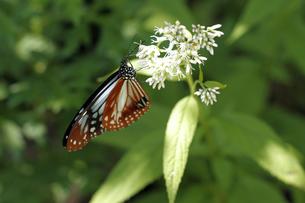 山岳地の蝶の写真素材 [FYI00362386]