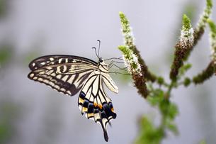 アゲハ蝶の素材 [FYI00362406]