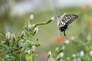 アゲハ蝶の写真素材 [FYI00362408]