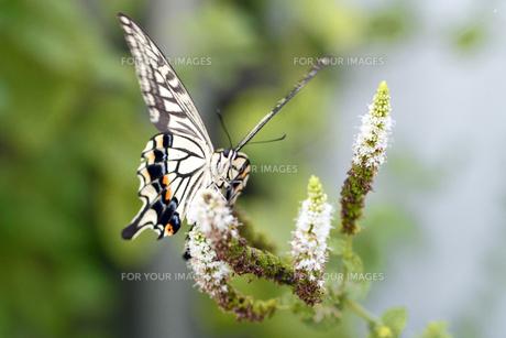 アゲハ蝶の素材 [FYI00362418]