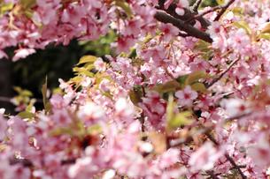 メジロと桜の素材 [FYI00362425]