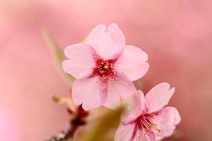 サンライズ糸山の河津桜の素材 [FYI00362432]