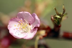 サンライズ糸山の河津桜の素材 [FYI00362437]