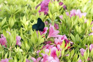 ツツジとクロアゲハ蝶の写真素材 [FYI00362468]