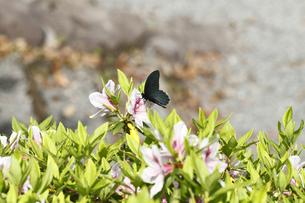 ツツジとクロアゲハ蝶の写真素材 [FYI00362487]