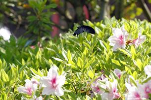 ツツジとクロアゲハ蝶の写真素材 [FYI00362489]