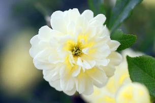 白いバラの素材 [FYI00362507]