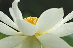 蓮の花の写真素材 [FYI00362596]