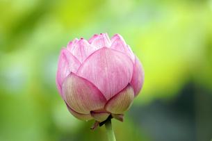 蓮の花の写真素材 [FYI00362609]