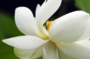 蓮の花の写真素材 [FYI00362612]