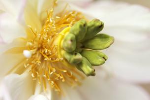 蓮の花の写真素材 [FYI00362616]