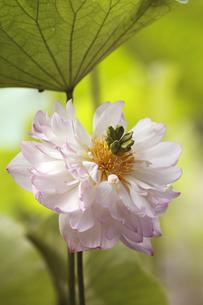 蓮の花の写真素材 [FYI00362620]