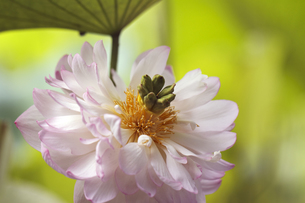 蓮の花の写真素材 [FYI00362622]