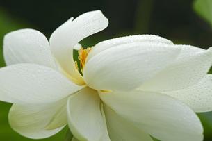 蓮の花の写真素材 [FYI00362623]