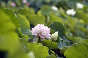 蓮の花の写真素材 [FYI00362624]