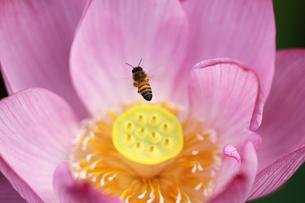 蓮とミツバチの写真素材 [FYI00362689]