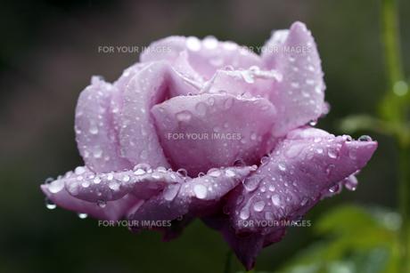 薔薇(シャルル ドゥ ゴール)の写真素材 [FYI00362886]