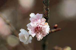 冬桜の素材 [FYI00362937]