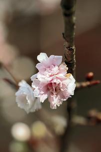 冬桜の素材 [FYI00362943]