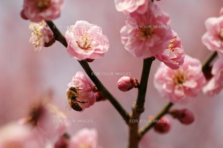 梅の花とミツバチの素材 [FYI00362950]
