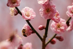 梅の花とミツバチの写真素材 [FYI00362950]