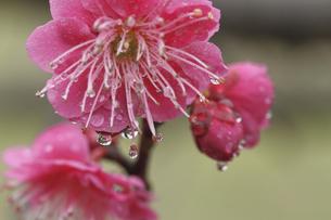 梅の花としずくの写真素材 [FYI00362961]