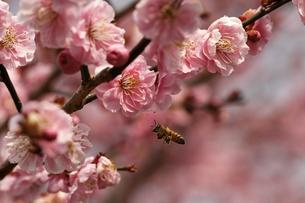 梅の花と飛んでいるミツバチの写真素材 [FYI00362963]