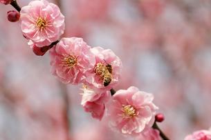 梅の花とミツバチの写真素材 [FYI00362965]