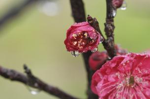 梅の花としずくの写真素材 [FYI00362967]