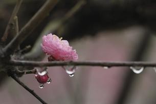 梅の花としずくの写真素材 [FYI00362968]