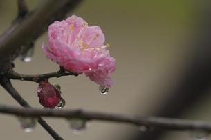 梅の花としずくの写真素材 [FYI00362970]