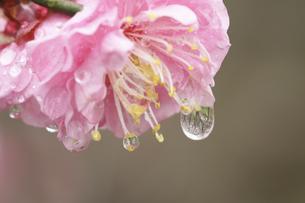 梅の花としずくの写真素材 [FYI00362972]