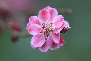 梅の花の写真素材 [FYI00363014]