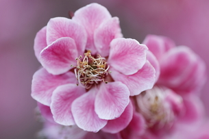 梅の花の写真素材 [FYI00363015]