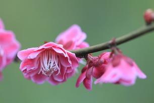 梅の花の写真素材 [FYI00363019]
