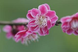 梅の花の写真素材 [FYI00363028]