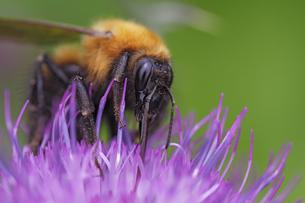 アザミとクマ蜂の写真素材 [FYI00363034]