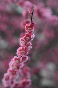 梅の花の写真素材 [FYI00363035]