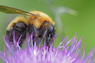 アザミとクマ蜂の写真素材 [FYI00363036]