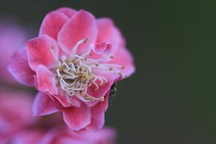 梅の花の写真素材 [FYI00363041]