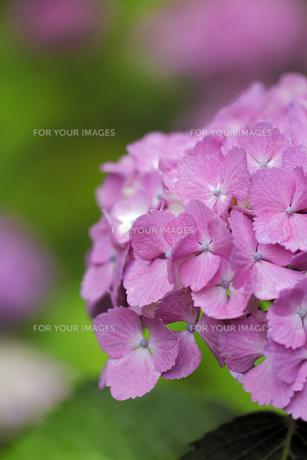 紫陽花の素材 [FYI00363079]