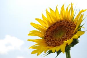 空に向日葵の写真素材 [FYI00363135]