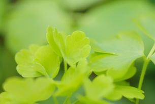 ライムゴールドの葉の写真素材 [FYI00363165]
