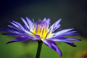 紫色のスイレンの写真素材 [FYI00363185]