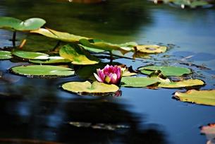 池に咲くスイレンの写真素材 [FYI00363186]