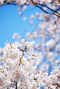 青空をバックにソメイヨシノの写真素材 [FYI00363213]