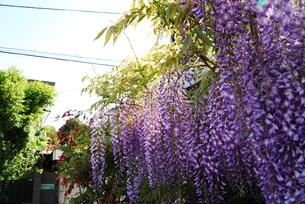 住宅地に咲く藤の花の写真素材 [FYI00363217]